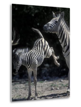 Plains Zebra Kicks, Etosha National Park, Namibia-Paul Souders-Metal Print