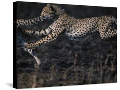 Cheetah Cubs at Play, Masai Mara Game Reserve, Kenya-Paul Souders-Stretched Canvas Print