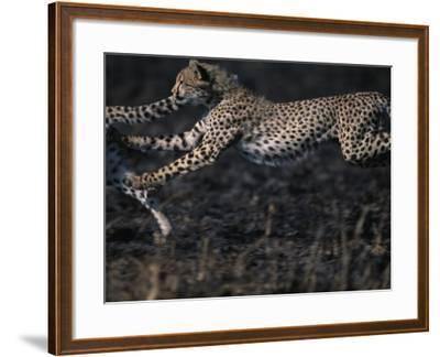 Cheetah Cubs at Play, Masai Mara Game Reserve, Kenya-Paul Souders-Framed Photographic Print