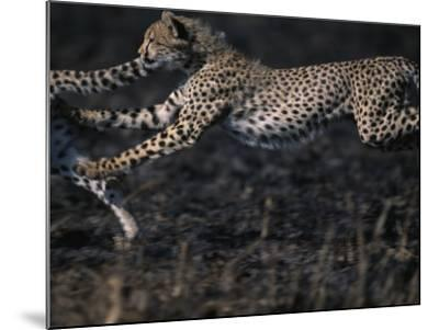 Cheetah Cubs at Play, Masai Mara Game Reserve, Kenya-Paul Souders-Mounted Photographic Print