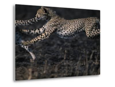 Cheetah Cubs at Play, Masai Mara Game Reserve, Kenya-Paul Souders-Metal Print
