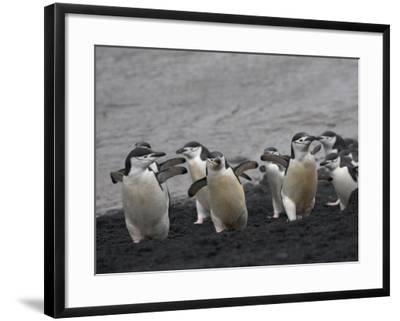 Chinstrap Penguin on the beach, Deception Island, Antarctica-Keren Su-Framed Photographic Print