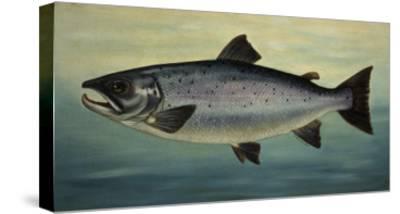 Atlantic Salmon-Porter Design-Stretched Canvas Print