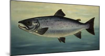 Atlantic Salmon-Porter Design-Mounted Premium Giclee Print