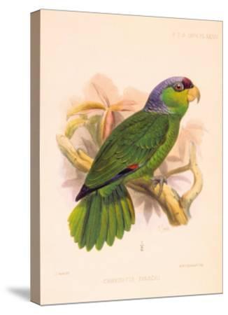 Joseph Smit Parrots Parrot Plate 34-Porter Design-Stretched Canvas Print