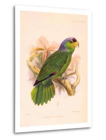Joseph Smit Parrots Parrot Plate 34-Porter Design-Metal Print