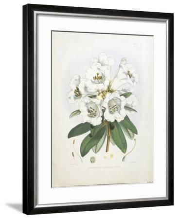 Rhodedendrum Dalhousie-Porter Design-Framed Premium Giclee Print