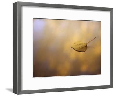 Golden Aspen Leaf on a Dappled Background in Autumn-Annie Griffiths Belt-Framed Photographic Print