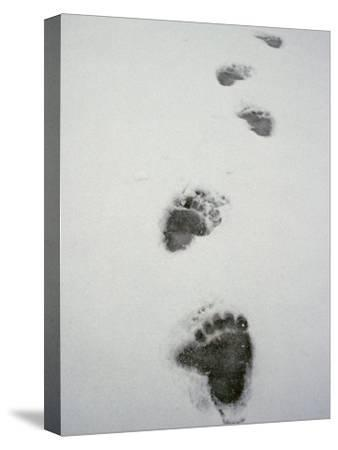 Grizzly Bear Tracks in the Snow-Michael S^ Quinton-Stretched Canvas Print