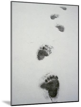 Grizzly Bear Tracks in the Snow-Michael S^ Quinton-Mounted Photographic Print