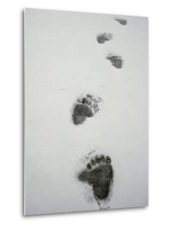 Grizzly Bear Tracks in the Snow-Michael S^ Quinton-Metal Print