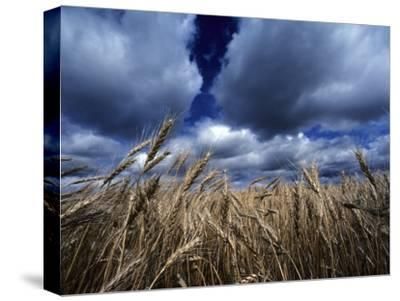 Golden Heads of Wheat in a Field under a Vast, Turbulent Sky-Annie Griffiths Belt-Stretched Canvas Print