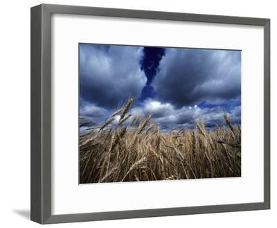 Golden Heads of Wheat in a Field under a Vast, Turbulent Sky-Annie Griffiths Belt-Framed Photographic Print