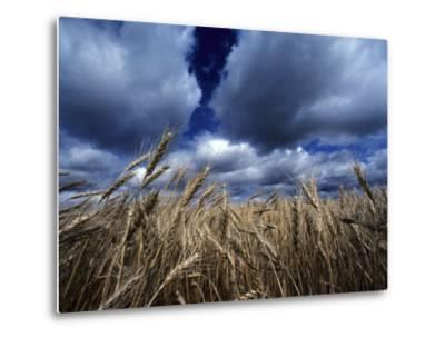 Golden Heads of Wheat in a Field under a Vast, Turbulent Sky-Annie Griffiths Belt-Metal Print