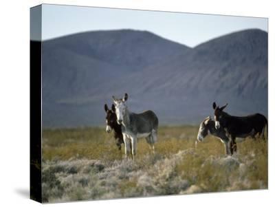 Wild Burros Wander Near Death Valley National Park-Gordon Wiltsie-Stretched Canvas Print