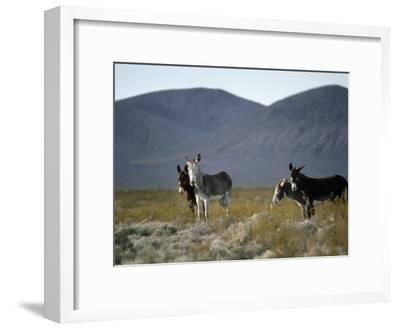 Wild Burros Wander Near Death Valley National Park-Gordon Wiltsie-Framed Photographic Print