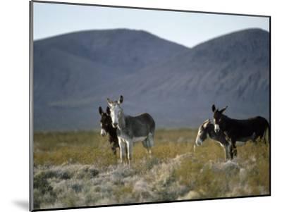 Wild Burros Wander Near Death Valley National Park-Gordon Wiltsie-Mounted Photographic Print