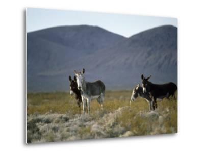 Wild Burros Wander Near Death Valley National Park-Gordon Wiltsie-Metal Print