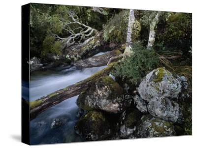 Mountain Stream Flows Through a Rain-Drenched Southern Beech Forest-Gordon Wiltsie-Stretched Canvas Print