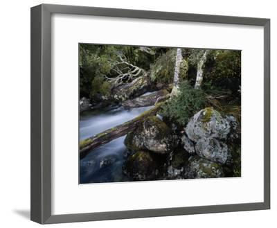 Mountain Stream Flows Through a Rain-Drenched Southern Beech Forest-Gordon Wiltsie-Framed Photographic Print