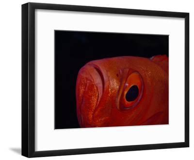 Close Up of the Eye of a Red Bigeye Fish-Paul Sutherland-Framed Photographic Print