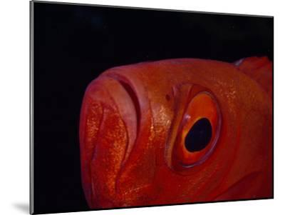 Close Up of the Eye of a Red Bigeye Fish-Paul Sutherland-Mounted Photographic Print