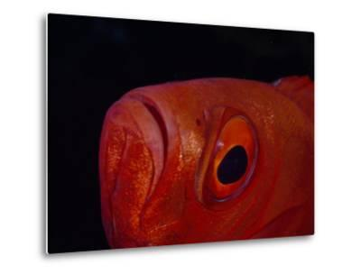 Close Up of the Eye of a Red Bigeye Fish-Paul Sutherland-Metal Print