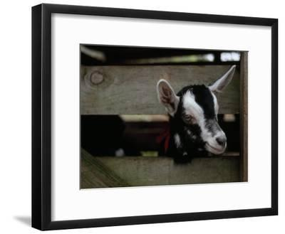 New Zealand Goat Kid Peers from it's Pen at a Goat Milk, Cheese Farm-Paul Sutherland-Framed Photographic Print