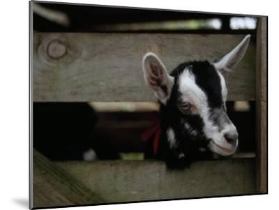New Zealand Goat Kid Peers from it's Pen at a Goat Milk, Cheese Farm-Paul Sutherland-Mounted Photographic Print