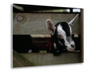 New Zealand Goat Kid Peers from it's Pen at a Goat Milk, Cheese Farm-Paul Sutherland-Metal Print
