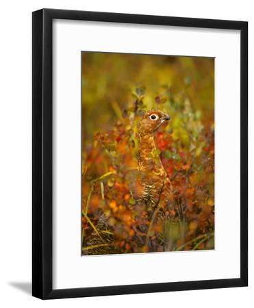 Willow Ptarmigan in Fall Foliage, Denali National Park, Alaska-Michael S^ Quinton-Framed Photographic Print