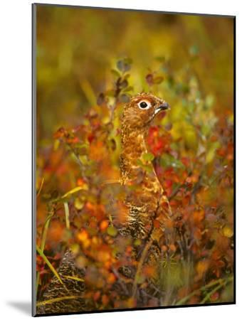 Willow Ptarmigan in Fall Foliage, Denali National Park, Alaska-Michael S^ Quinton-Mounted Photographic Print