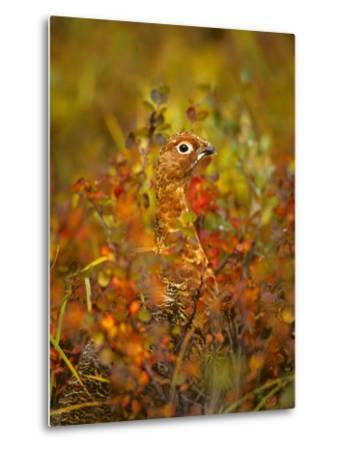 Willow Ptarmigan in Fall Foliage, Denali National Park, Alaska-Michael S^ Quinton-Metal Print