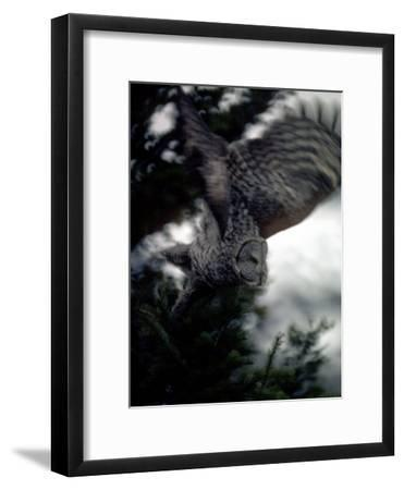 Great Gray Owl Takes Flight in Yellowstone National Park, Wyoming-Michael S^ Quinton-Framed Photographic Print