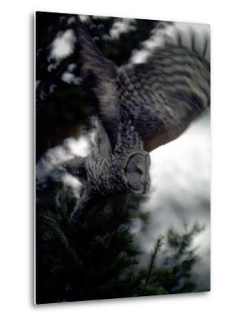 Great Gray Owl Takes Flight in Yellowstone National Park, Wyoming-Michael S^ Quinton-Metal Print