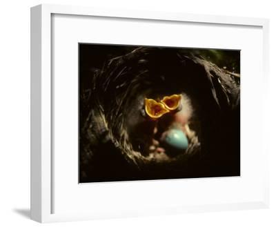 Baby Robins Begging for Food with Unhatched Egg-Michael S^ Quinton-Framed Photographic Print