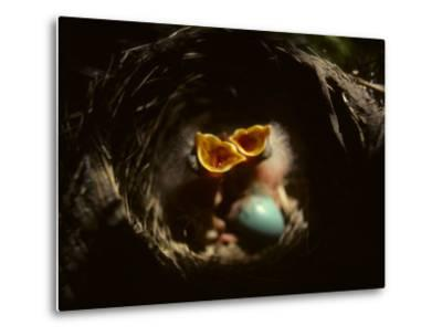 Baby Robins Begging for Food with Unhatched Egg-Michael S^ Quinton-Metal Print