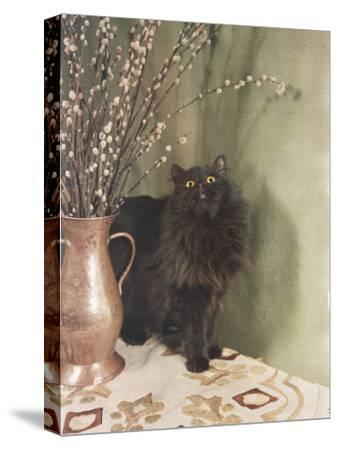 Black Persian Cat Stares Intently at a Vase of Pussy Willows-Willard Culver-Stretched Canvas Print