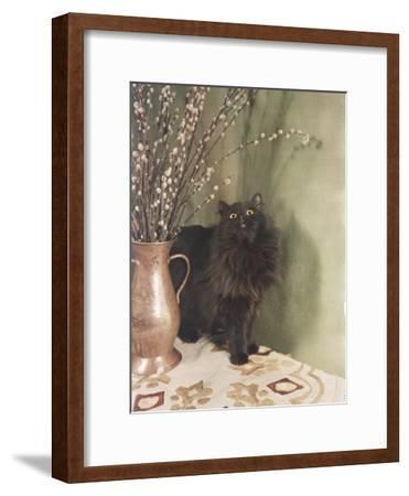 Black Persian Cat Stares Intently at a Vase of Pussy Willows-Willard Culver-Framed Photographic Print