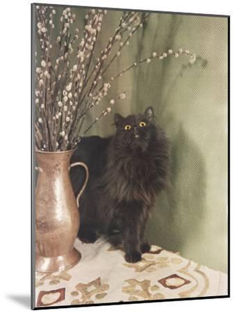 Black Persian Cat Stares Intently at a Vase of Pussy Willows-Willard Culver-Mounted Photographic Print