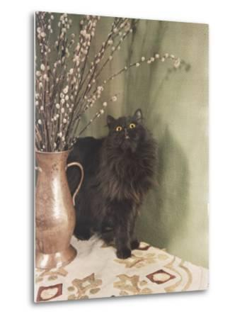 Black Persian Cat Stares Intently at a Vase of Pussy Willows-Willard Culver-Metal Print