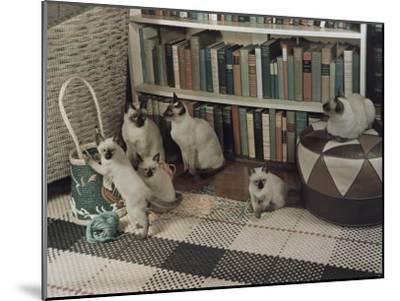 Adult Siamese Cats Watch as their Young Play with Yarn-Willard Culver-Mounted Photographic Print