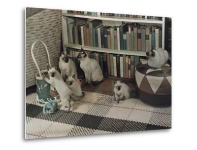 Adult Siamese Cats Watch as their Young Play with Yarn-Willard Culver-Metal Print