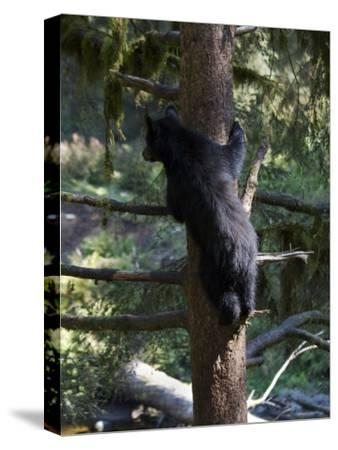Black Bear Climbing Tree in Tongass National Forest-Melissa Farlow-Stretched Canvas Print