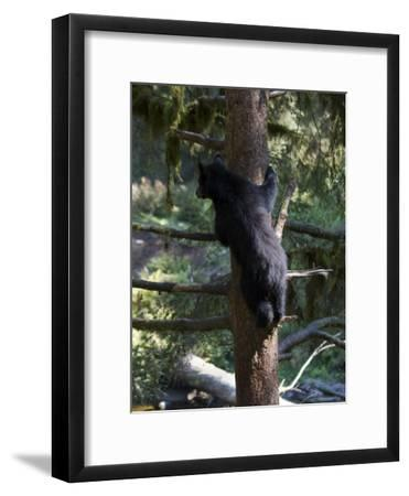 Black Bear Climbing Tree in Tongass National Forest-Melissa Farlow-Framed Photographic Print
