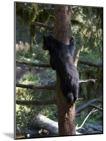 Black Bear Climbing Tree in Tongass National Forest-Melissa Farlow-Mounted Photographic Print