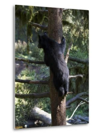 Black Bear Climbing Tree in Tongass National Forest-Melissa Farlow-Metal Print