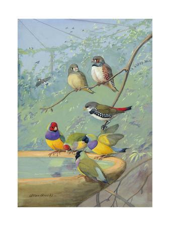 Finches Perch on the Edge of a Birdbath-Allan Brooks-Framed Photographic Print