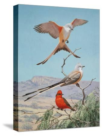Scissor-Tailed and Vermilion Flycatchers Perch on a Mesquite Tree-Walter Weber-Stretched Canvas Print