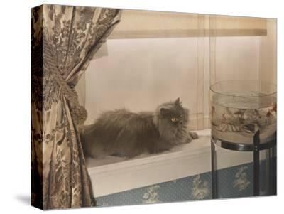 Blue Persian Cat Stares Intensely at Goldfish in a Bowl-Willard Culver-Stretched Canvas Print